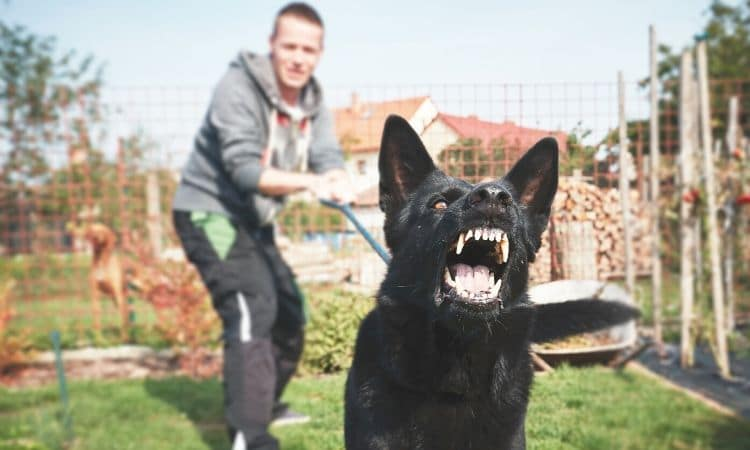 Angry dog showing teeth being held back with a leash by its owner.